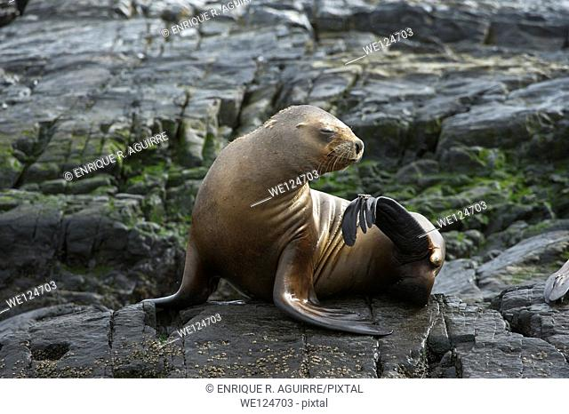 South American sea lion (Otaria flavescens), Beagle Channel, South America