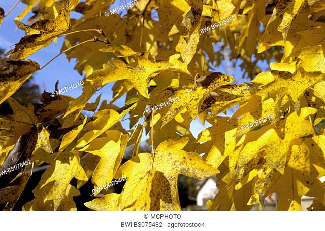 field maple, common maple (Acer campestre), autumnal leaves, Germany, Hesse