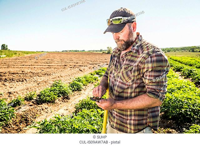 Man in vegetable garden looking down texting on smartphone