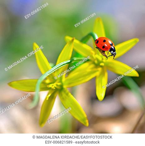 red ladybug on yellow flowers isolated in summer time