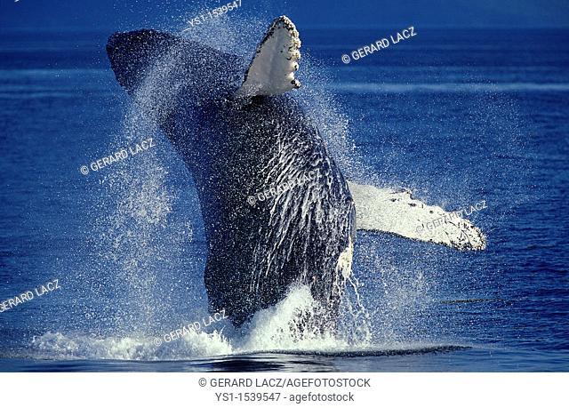 Humpack Whale, megaptera novaeangliae, Adult Breaching, Alaska
