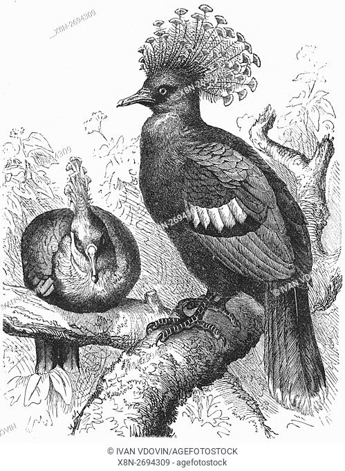 Victoria crowned pigeon, Goura victoria, illustration from book dated 1904