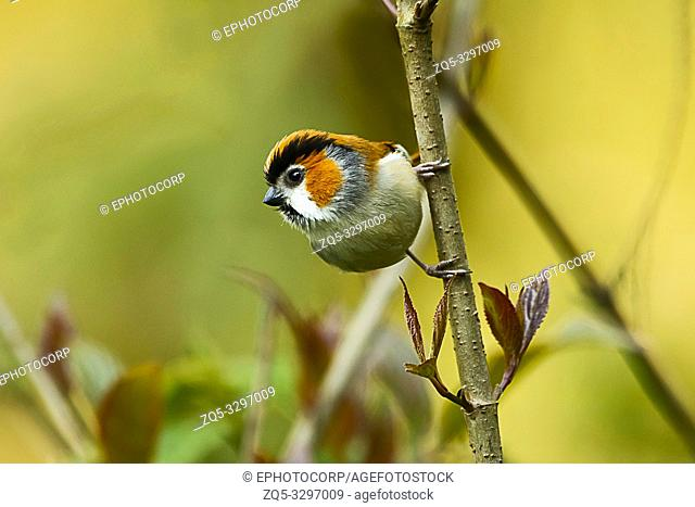 Black-throated parrotbill, Suthora nipalensis, Eastern Himalayan Birds, Lava, India