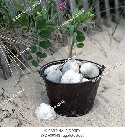 Cape Cod Quahog Clams in Bucket