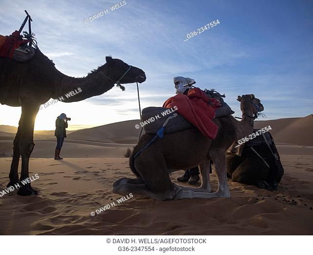 Group of camels relaxing on desert at Morocco