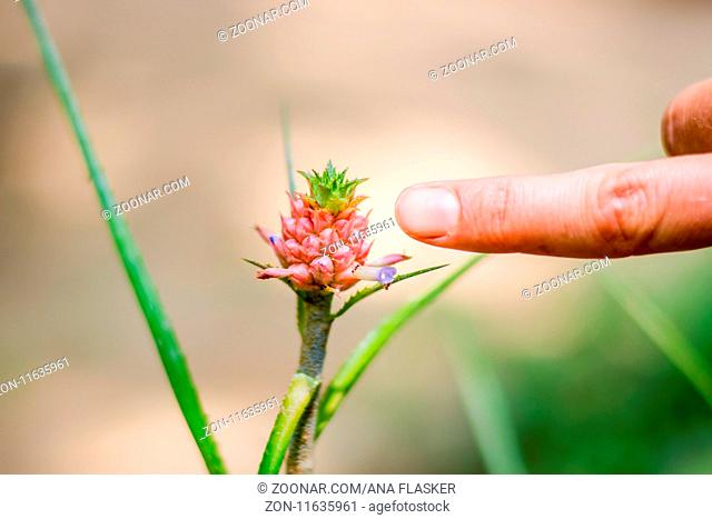 Small jungle pineapple in the size of finger growing on the plant