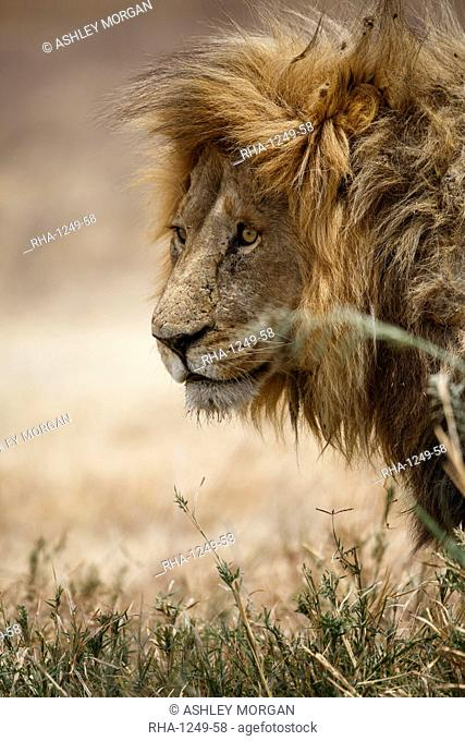Portrait of an African lion (Panthera leo), Serengeti National Park, Tanzania, East Africa, Africa