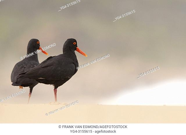 African Oyster Catcher (Haematopus moquini), Robberg Nature Reserve, South Africa