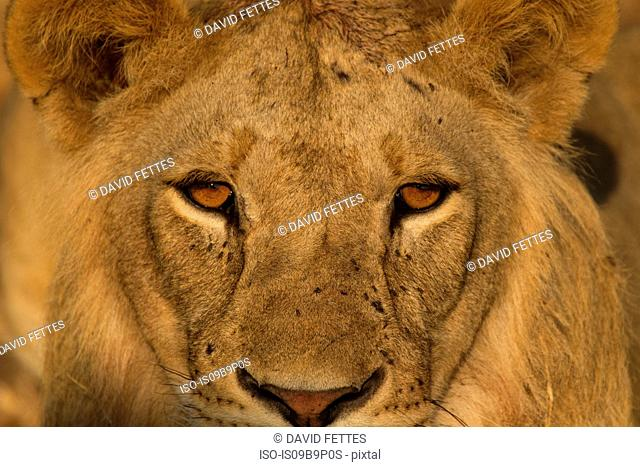 Portrait of lion (Panthera leo), close-up, Tarangire National Park, Tanzania, Africa