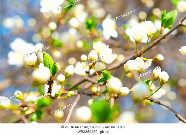 Spring blossoming white spring flowers on a plum tree against soft floral background