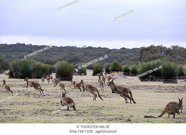 Kangaroo Island grey kangaroos Macropus fuliginosus, Kelly Hill Conservation, Kangaroo Island, South Australia, Australia, Pacific