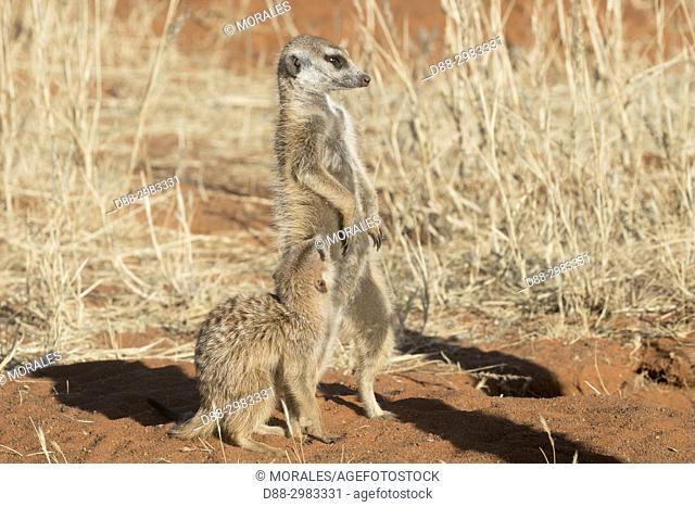 Africa, Southern Africa, South African Republic, Kalahari Desert, Meerkat or suricate (Suricata suricatta), adult