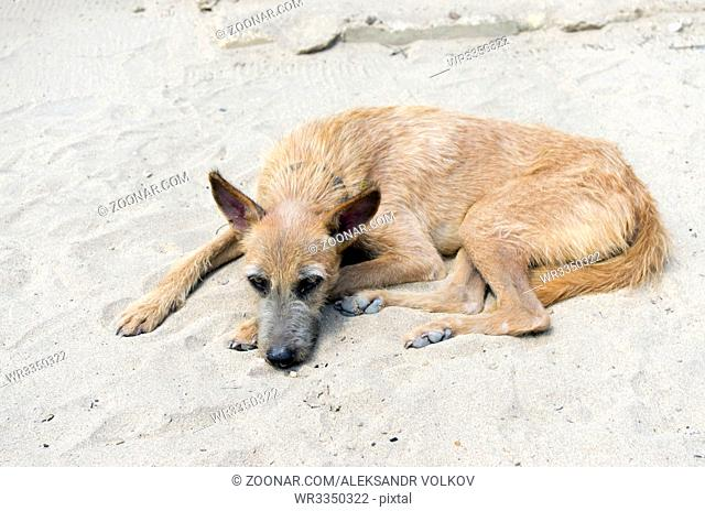 The hungry unfortunate yellow beach dog sadly lies on sand. Soft art focus outdoor shot