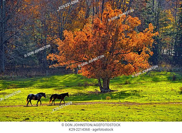 Horses in a pasture in Cades Cove in the evening, Great Smoky Mountains NP, Tennessee, USA