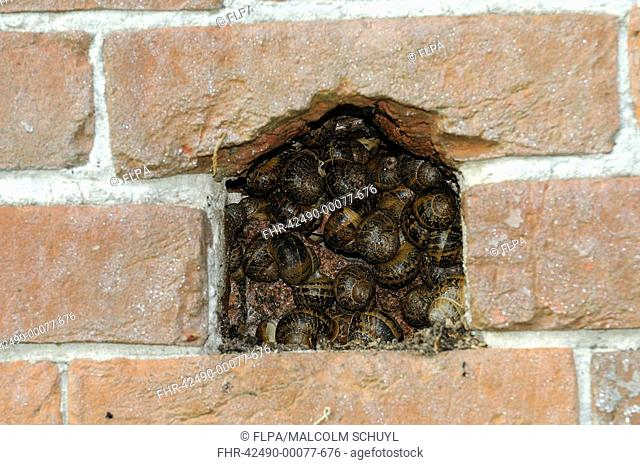 Garden Snail Helix aspersa adults, group hibernating in crevice of brick wall, Oxfordshire, England