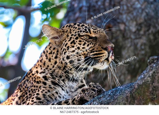 Leopard sitting in a tree, Kwando Concession, Linyanti Marshes, Botswana