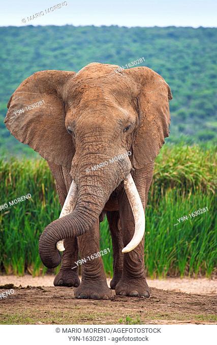 Large Bull Elephant Loxodonta Africana in Hapoor Dam in Addo Elephant National Park, South Africa