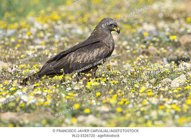Black kite (Milvus migrans) perched on the ground, in the Dehesa, Extremadura, Spain