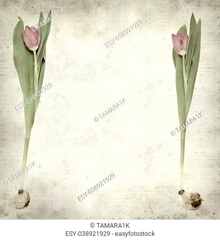 textured old paper background with magenta tulip