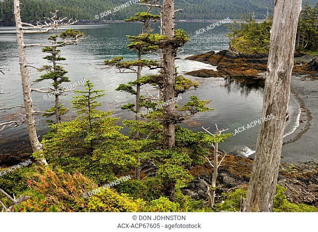 Sitka spruce on the Gordon Islands, Haida Gwaii (Queen Charlotte Islands) Gwaii Haanas NP, British Columbia, Canada