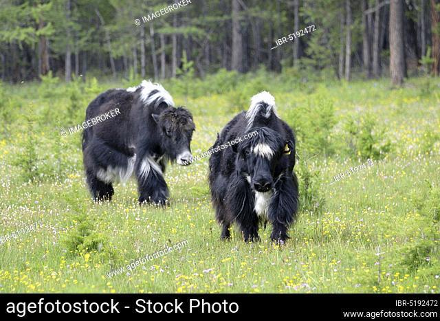Domestic yaks (Bos mutus grunniens), Lake Choevsgoel, Choevsgoel, Mongolia, Asia