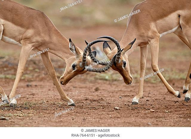 Impala (Aepyceros melampus) bucks sparring, Kruger National Park, South Africa, Africa