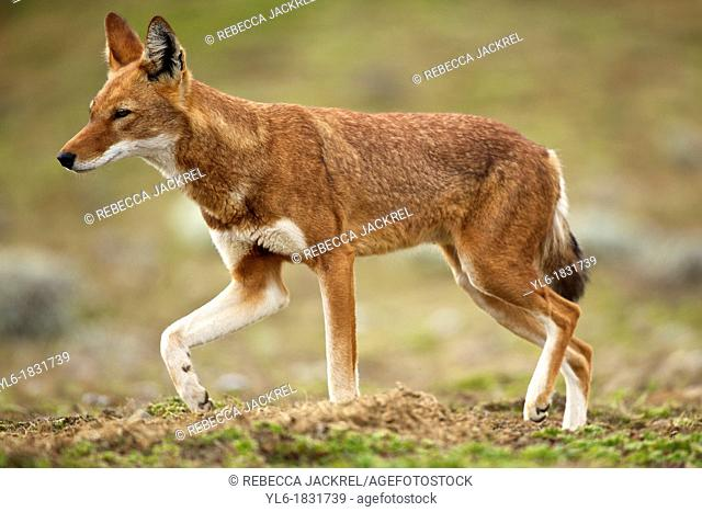 Ethiopian wolf walking