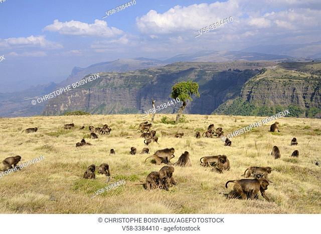 Ethiopia, Amhara region, World Heritage Site, Simien Mountains National Park, Gelada baboons