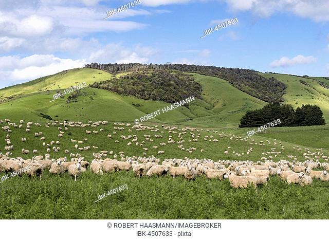 Flock of sheep in the hills, The Catlins, Southland, New Zealand