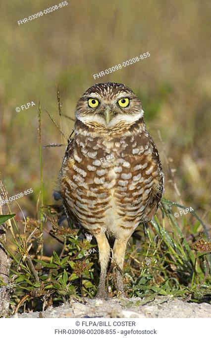 Burrowing Owl Speotyto cunicularia adult, standing, Marco Island, Florida, U S A