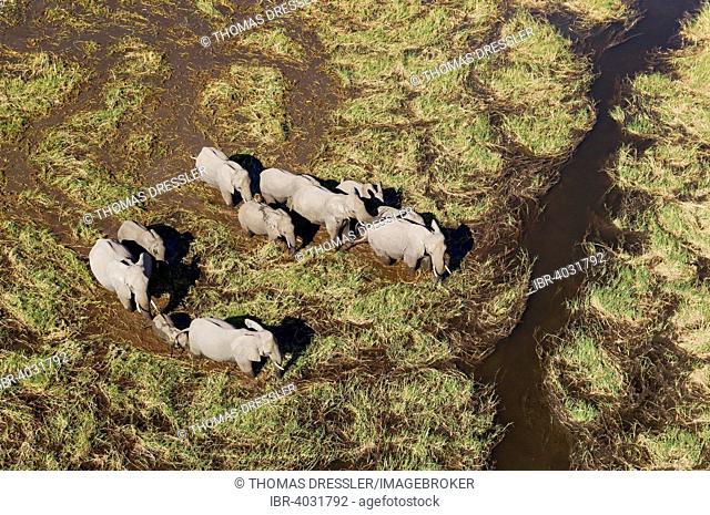 African Elephants (Loxodonta africana), breeding herd, roaming in a freshwater marsh, aerial view, Okavango Delta, Moremi Game Reserve, Botswana