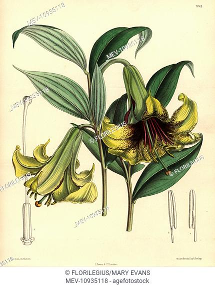 Lilium nepalense, yellow lily native to the Himalayas. . Hand-coloured botanical illustration drawn by Matilda Smith and lithographed by J.N