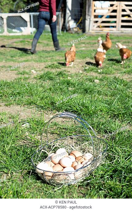 Eggs and hens at a farm in Central Saanich, British Columbia, Canada