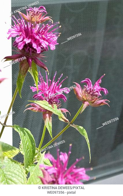 Some hot pink Monarda in front of a window