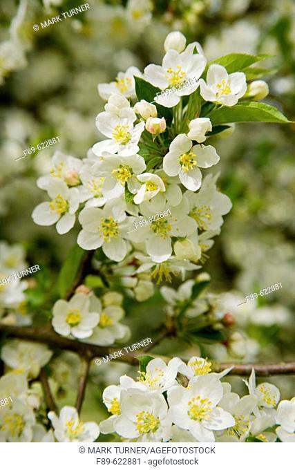 Sargent's Crabapple blossoms (Malus sargentii). VanDusen, Vancouver, BC