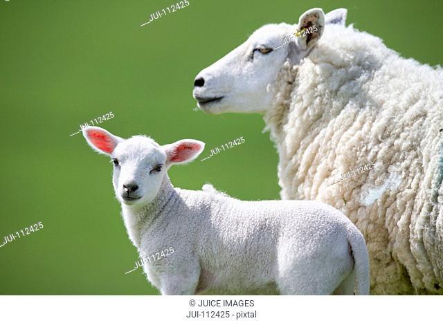 Portrait lamb with sheep