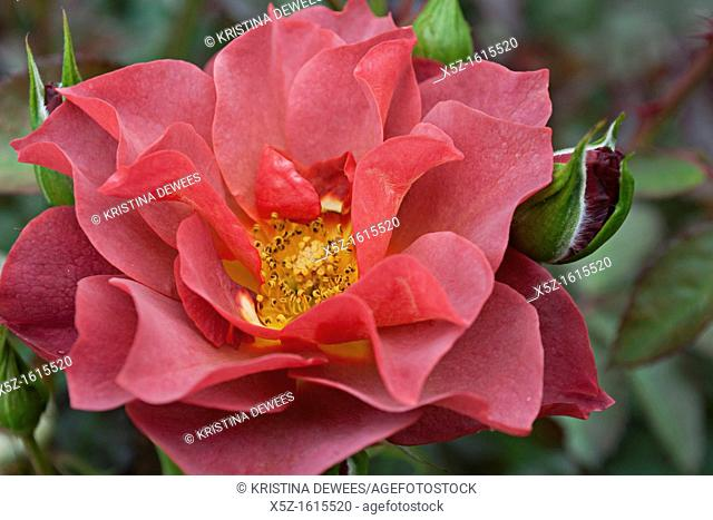 A perfect dark pink Rose and rose bud
