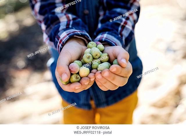 Hands of boy holding freshly picked olives