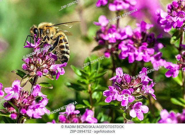 Bee on Thymus pulegioides 'Kurt', Broad-leaved thyme, Lemon thyme, pollination