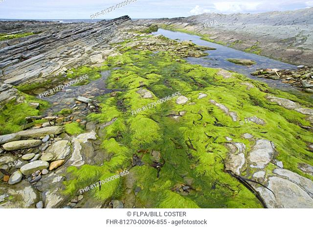 Seaweed in tidepool on rocky shore, Brough Head, Mainland, Orkney, Scotland, june