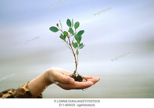 Hand holding a small eucalyptus tree