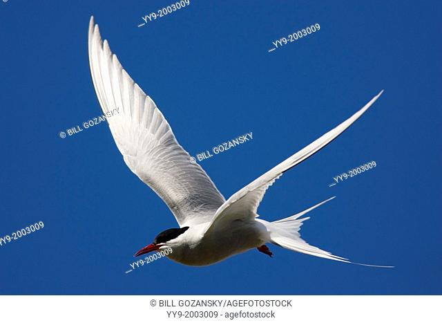 Arctic Tern (Sterna paradisaea) in Flight - Jokulsarlon, Southern Iceland