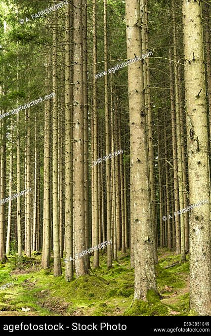 Boras, Sweden A magical pine forest and forest floor