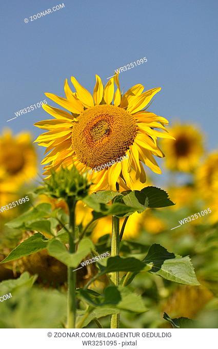 Sonnenblumenfeld, Sonnenblume blühend, mit blauem Himmel