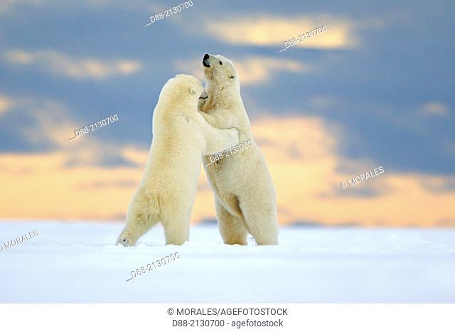 United States,Alaska,Arctic National Wildlife Refuge,Kaktovik,Polar Bear( Ursus maritimus),mother and young playing together along a barrier island outside...