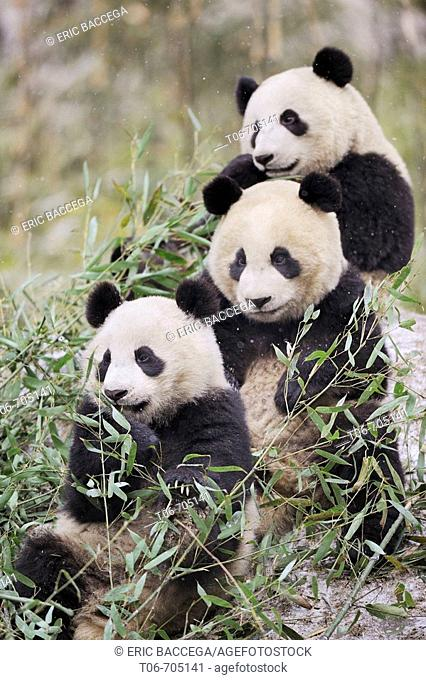 Three subadult giant pandas feeding on bamboo (Ailuropoda melanoleuca) Wolong Nature Reserve, China