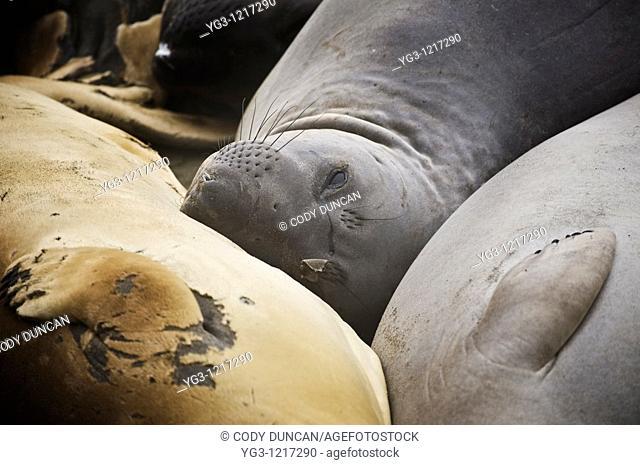 Northern Elephant seals - Mirounga angustirostris - during spring moult at San Simeon - Piedras Blancas, California