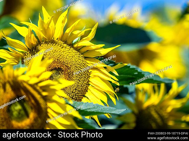 31 July 2020, Mecklenburg-Western Pomerania, Finkenthal: Sunflowers bloom on one of the fields of the Fürstenhof producer association