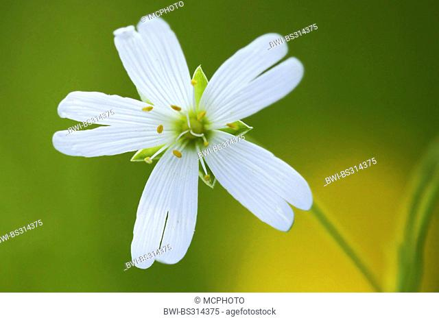easterbell starwort, greater stitchwort (Stellaria holostea), flower, Germany