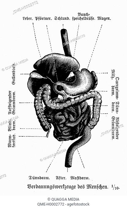 Human: digestive organs
